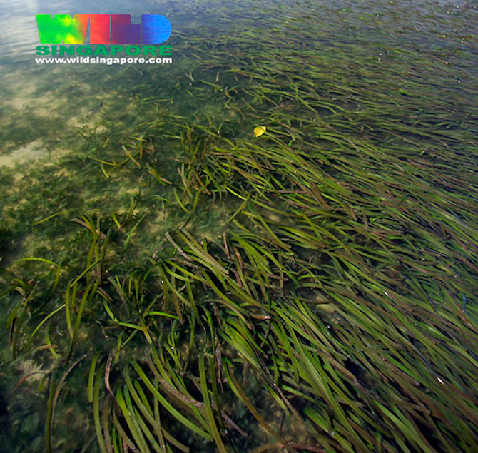 seagrass-halophila-meadow-aquarium-7