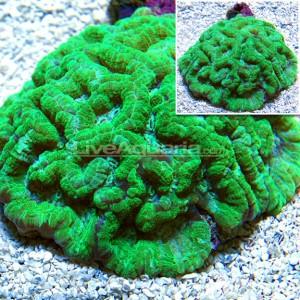 symphyllia-wilsoni-green-liveaquaria
