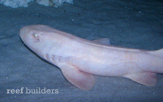 Tag: cat shark | Reef Builders | The Reef and Saltwater Aquarium Blog