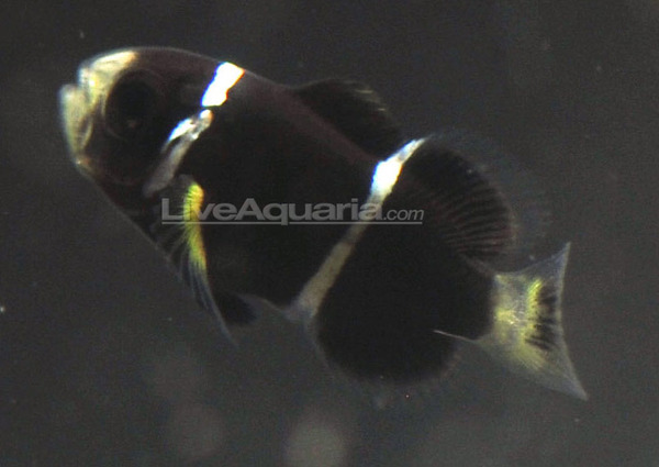 ORA raises the McCullochi Clownfish |Mccullochi Clownfish