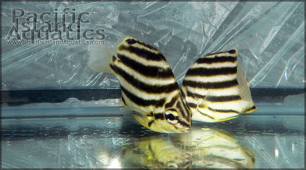 Stripey pair - courtesy Pacific Island Aquatics