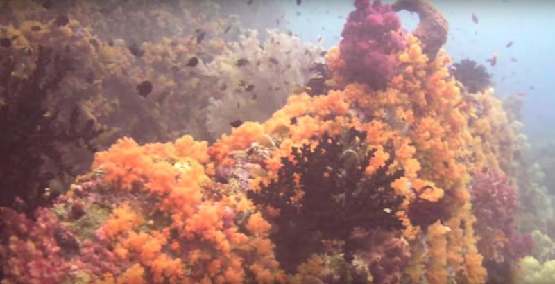 Soft-Coral-Raja-Ampat.png