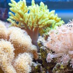 softcoral-1