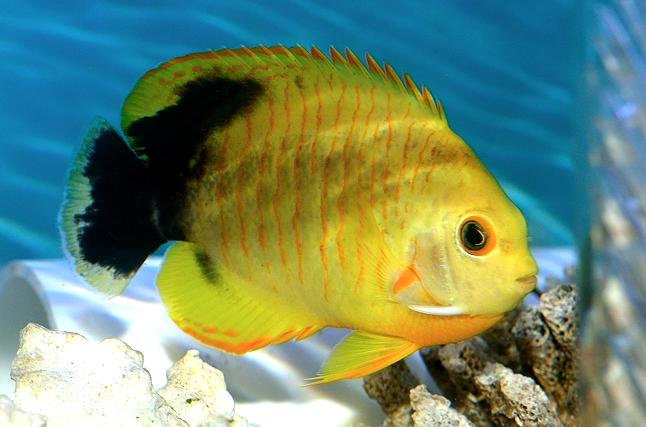 xanthic-eibl-angelfish-Tigerpyge-1