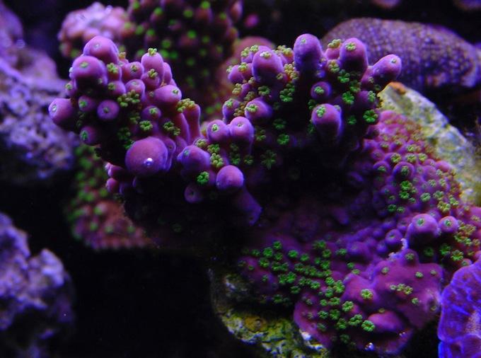Garf Founder Leroy Headlee Passed Away Glue A Frag For Leroy Reef Builders The Reef And Saltwater Aquarium Blog