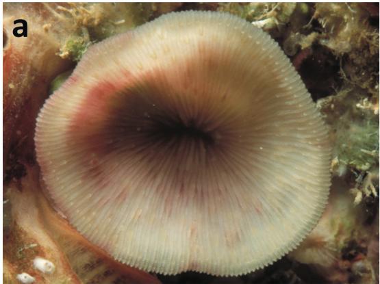 Leptoseris-troglodyta-21.png