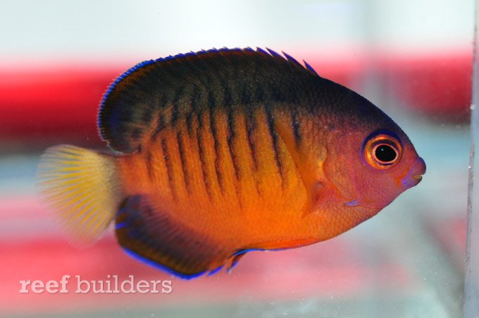Coral Beauty Angelfish Hybrids Seem To Be The Result Of Three Way Hybridization Reef Builders The Reef And Saltwater Aquarium Blog
