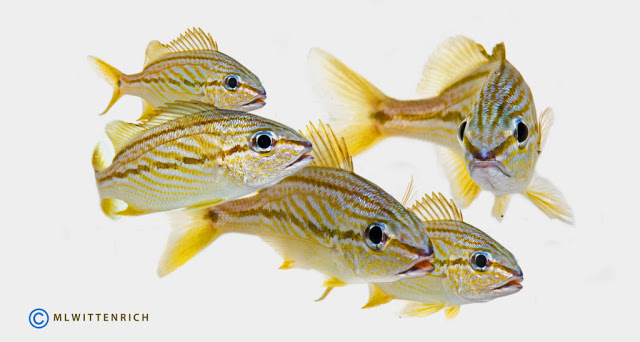 Subadult French Grunts raised at the Tropical Aquaculture Laboratory. Photo by Matt Wittenrich