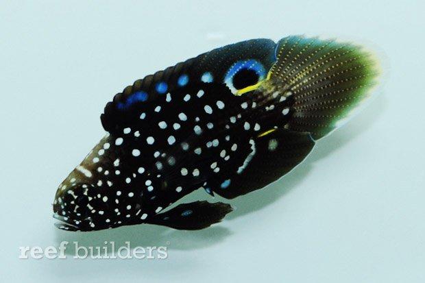 sustainable-aquatics-marine-betta-4 (1)