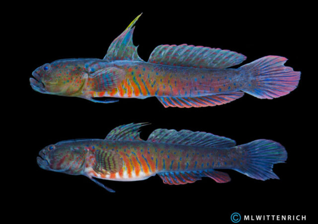 Crested Oyster Goby - Cryptocentroides gobiodes - quite a looker! (image courtesy Matthew L. Wittenrich)