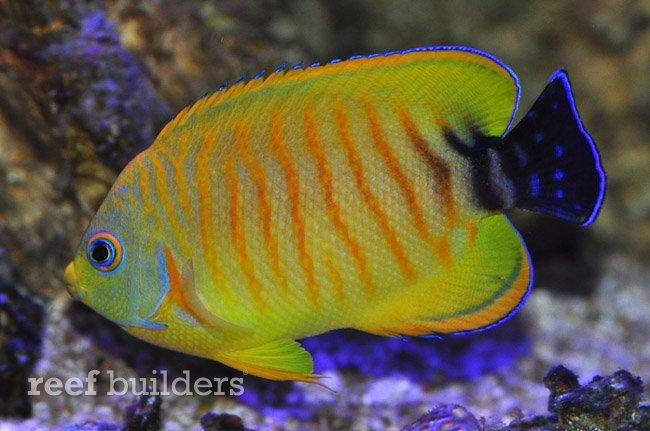 tigerpyge-hybrid-lemonpeel-eibli-angelfish-10