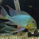 The Satellite + LED brings out exceptional color in this large male geophagus