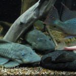 A couple of veteran blue eye panaques vie for position