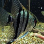 The Satellite + LED brings out exceptional color in this regular silver angelfish