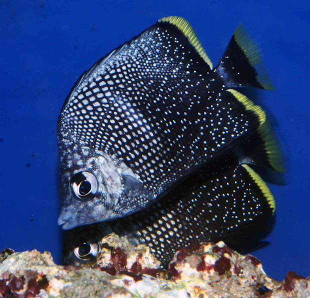 Armitage Angelfish And Juvenile Wrought Iron Butterflyfish