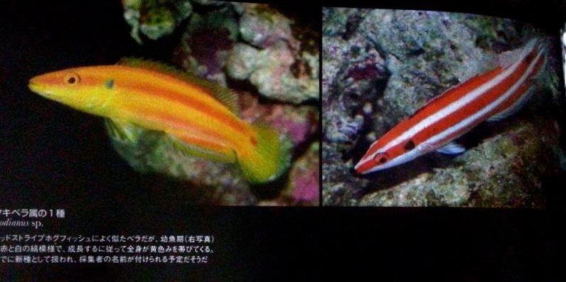 """A page from the newest edition of Marine Aquarist no. 70 edition showing the same red/white Bodianus as it grows into a yellow Bodianus """"kimura""""."""