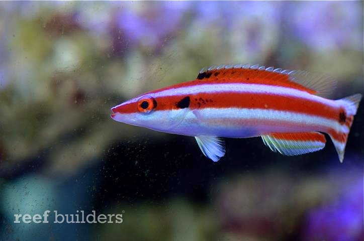 "A Bodianus ""opercularis"", so we thought. What if we told you now that this fish would grow up to become Bodianus ""kimura""?"
