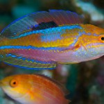 When in flashing coloration the colors of the dwarf pintail fairy wrasse are bordering on metallic. Photo Pisces Kazu