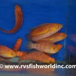 A group of female pintail fairy wrasses showing their very attractive yellow-scribbled red faces. Photo RVS Fishworld