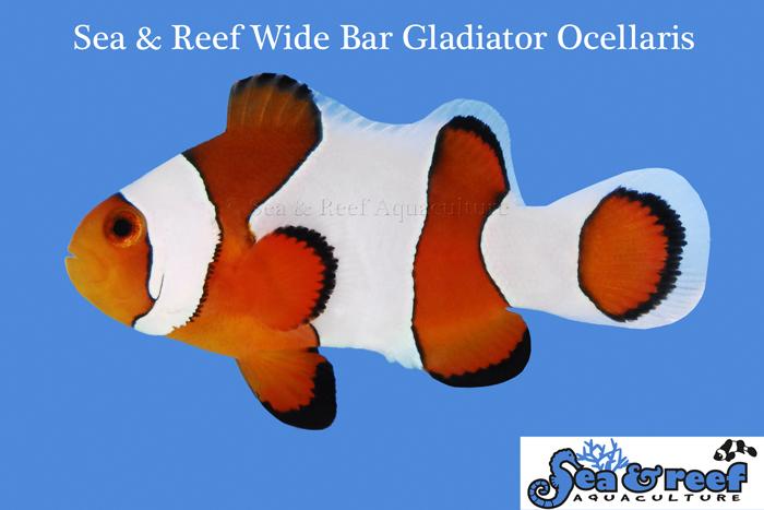 Wide Bar Gladiator Clownfish by Sea & Reef Aquaculture