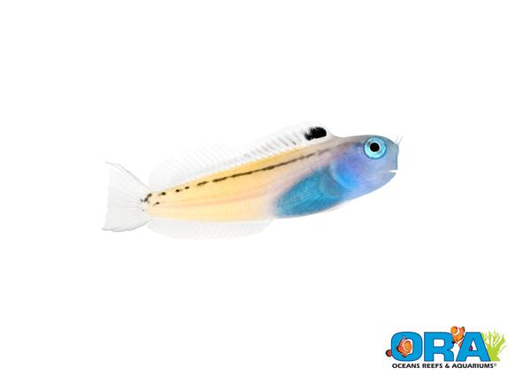 ORA's captive-bred Red Sea Mimic Blenny, Ecsenius gravieri.