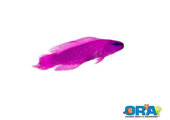 ORA Orchid Dottyback - Pseudochromis fridmani - Image Courtesy ORA