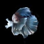 02c28ba0-b060-11e3-bebd-5f46bb13bc40_3_CATERS_Beautiful_Siamese_Fighting_Fish_04