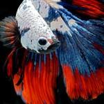 0f6d30d0-b060-11e3-bebd-5f46bb13bc40_6_CATERS_Beautiful_Siamese_Fighting_Fish_08