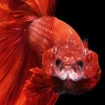 1be24710-b060-11e3-bebd-5f46bb13bc40_5_CATERS_Beautiful_Siamese_Fighting_Fish_06