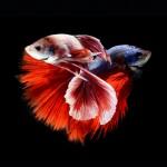 2bc47090-b060-11e3-bebd-5f46bb13bc40_8_CATERS_Beautiful_Siamese_Fighting_Fish_11