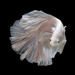 3245a1a0-b060-11e3-bebd-5f46bb13bc40_7_CATERS_Beautiful_Siamese_Fighting_Fish_10