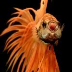 3928c8d0-b060-11e3-bebd-5f46bb13bc40_10_CATERS_Beautiful_Siamese_Fighting_Fish_13