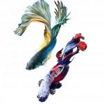 3e96dc30-b060-11e3-bebd-5f46bb13bc40_0_CATERS_Beautiful_Siamese_Fighting_Fish_01