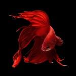 ed518050-b05f-11e3-bebd-5f46bb13bc40_11_CATERS_Beautiful_Siamese_Fighting_Fish_14