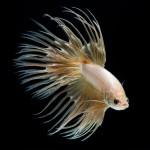 f4d50630-b05f-11e3-bebd-5f46bb13bc40_4_CATERS_Beautiful_Siamese_Fighting_Fish_05