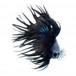 fb339410-b05f-11e3-bebd-5f46bb13bc40_2_CATERS_Beautiful_Siamese_Fighting_Fish_03