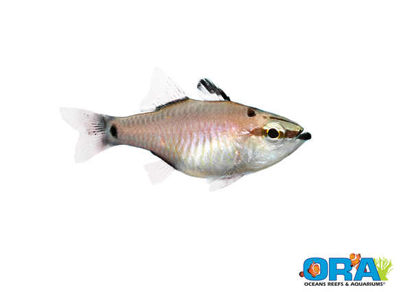 ORA's latest marine fish breeding first comes out of left field - Apogon notatus