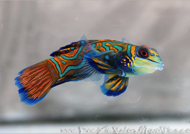 Adult captive-bred Mandarin Dragonets, reared by Karen Brittain - image courtesy Pacific Island Aquatics