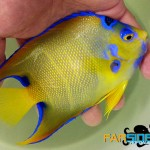 Show-quality Queen Angelfish (Holacanthus ciliaris)