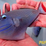 Red Tail Triggerfish (Xanthichthys sp.)