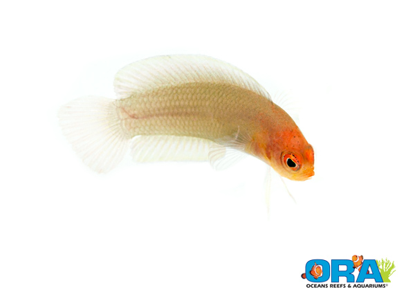 "ORA's ""oh by the way"" - last year they produced captive-bred Pseudoplesiops..."