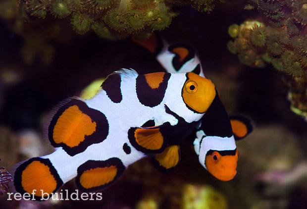 ultra-picasso-clownfish