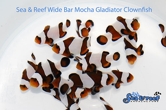 Sea & Reef's introduction of Wide Bar Gladiator Mocha clownfish - yes, something you haven't seen before.