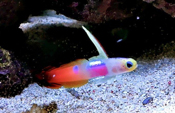 pink-spot-firefish