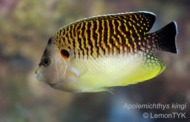 A subadult tiger angelfish showing an intermediate color pattern, and just the beginnings of its orange accents.