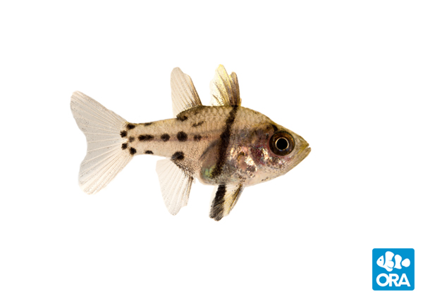 "The newest marine fish to hit the ""captive bred"" species list, Sphaeremia orbicularis, the Orbic Cardinalfish"