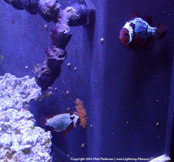 The first documented spawning of F1 Lightning X Lightning Maroon Clownfish, on October 3rd, 2014.