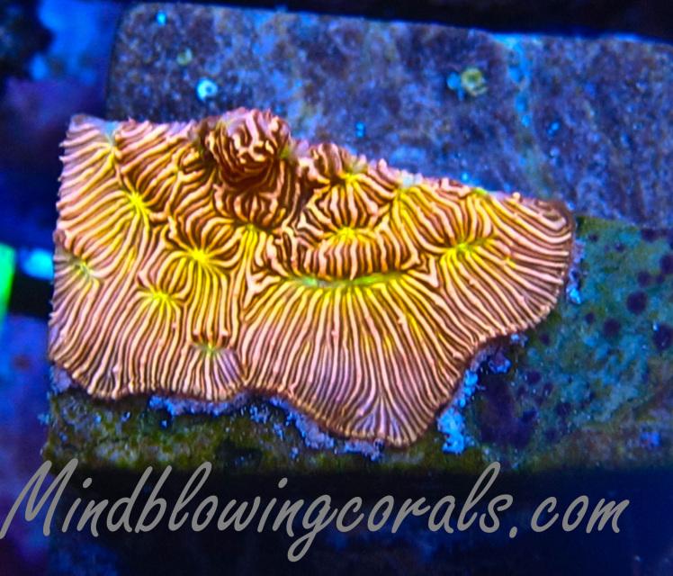 leptoseris corals betting