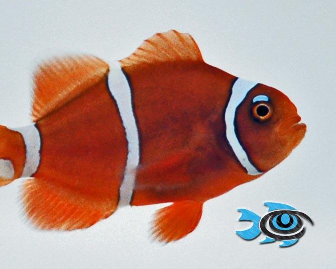 Pearl Eye Goldflake Maroon Clownfish by Fisheye Aquaculture.