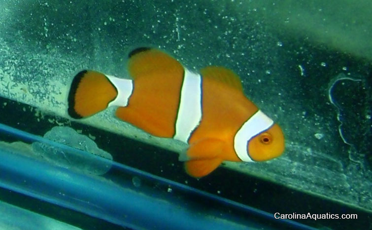 "Bali Aquarich's latest, the new hybrid ""Citron"" Clownfish."